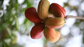 Indian Ayurveda Medicated Fruits closeup stock footage