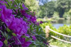 Indian azalea flower shoot. Purple. Taken in the woods. Stone skyline and lake landscape in background, closeup, pink, fresh, azaleas, indian, botany stock photo
