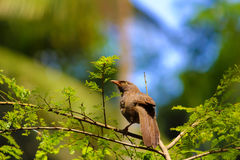 Indian Babbler bird Stock Photo