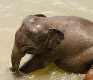 Indian baby elephant at a waterhole Stock Images
