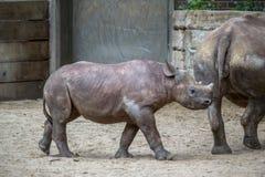 Indian Baby Rhino in a Zoo, Berlin. Indian Baby Rhino walks in a Zoo, Berlin, Germany royalty free stock image