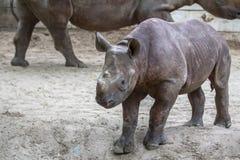 Indian Baby Rhino in a Zoo, Berlin. Indian Baby Rhino walks in a Zoo near his Mom, Berlin, Germany stock photos