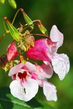 Indian balsam Royalty Free Stock Photos