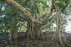 Indian Banyan. A Ficus benghalensis, or Indian Banyan has an unusual aerial root structure that makes for an ominous appearance Royalty Free Stock Photos