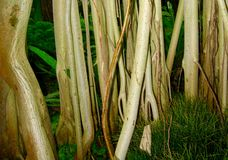 Indian Banyan (Ficus Benghalensis) Roots. The aerial roots of an Indian Banyan (Ficus Benghalensis) tree (family: Moraceae Stock Photos