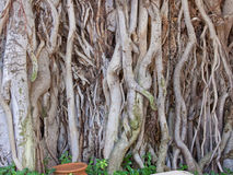Indian Banyan Tree Royalty Free Stock Photo