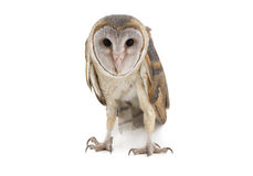 Indian Barn Owl Royalty Free Stock Photography