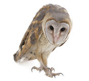 Indian Barn Owl Stock Image