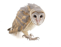 Indian Barn Owl Royalty Free Stock Photo