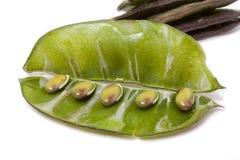 Indian Bean Royalty Free Stock Photo