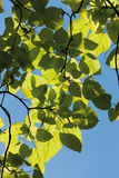 Indian bean tree against clear sky,close up Stock Photo