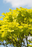Indian Bean Tree Royalty Free Stock Images