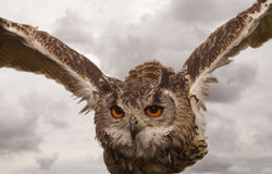 Indian (Bengal) Eagle Owl in flight Royalty Free Stock Photo
