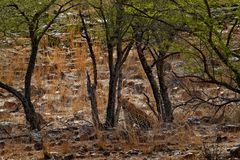 Indian Bengal leopard, Panthera pardus fusca, big spotted cat lying on the tree in the nature habitat, Ranthambore national park, stock photography