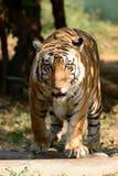 Indian Bengal tiger Stock Images