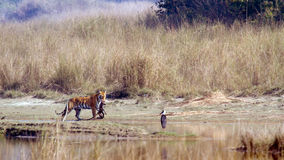 Indian Bengal tiger in Népal, Bardia national park. Panthera tigris tigris, Bengal tiger walking on the river bank, a prey in its mouth at Bardia national Royalty Free Stock Image