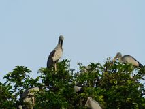 Indian big lip bird sitting on tree. And enjoy there spair time stock images