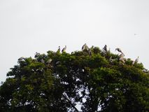 Indian big lip bird sitting on tree. And enjoy there spair time royalty free stock image