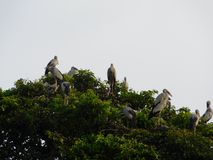 Indian big lip bird sitting on tree. And enjoy there spair time royalty free stock photos