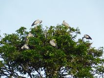 Indian big lip bird sitting on tree. And enjoy there spair time stock photography