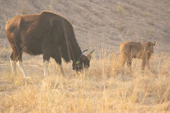 Indian Bison with Calf Stock Images