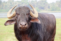 Indian Bison Royalty Free Stock Images