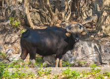 Indian bison Stock Photo