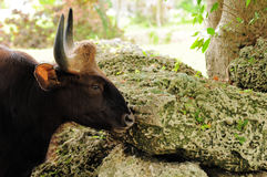 Indian Bison, Gaur Stock Photo