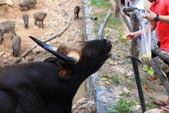 Indian bison Royalty Free Stock Image