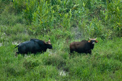 The Indian Bison at Gorumara National Park Royalty Free Stock Photo