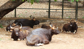 Indian Bisonor/gaur Royalty Free Stock Photo