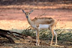 Free Indian Black Buck Antelope Stock Images - 23663424