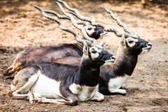 Indian Black Buck Antelope Stock Image