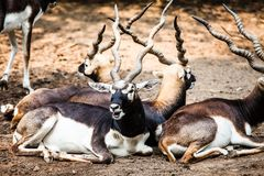 Indian Black Buck Antelope Royalty Free Stock Photography