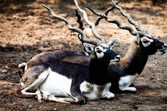 Indian Black Buck Antelope Royalty Free Stock Images