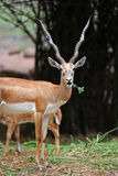 Indian Black buck Royalty Free Stock Photos
