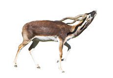 Indian Black Buck cutout. Indian Black Buck Antelope (Antelope cervicapra L.) isolated over white background. Also known as Kala Hiran. Clipping path included Stock Photos