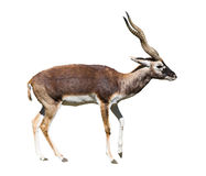 Indian Black Buck cutout. Indian Black Buck Antelope (Antelope cervicapra L.) isolated over white background. Also known as Kala Hiran. Clipping path included Stock Photo