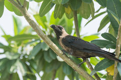 Indian black crow perching on tree Stock Photos