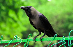 Indian black crow waitng Stock Photography