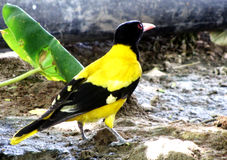 Indian black-hooded oriole Stock Images