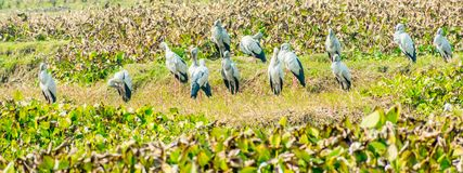 Free Indian Black Ibis, Species Of Water Bird, Spotted In A Pond Filled With Water Hyacinth. It S A Long Legged And Black Headed Wading Royalty Free Stock Photos - 151598858