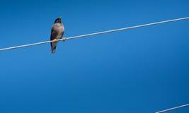 Indian Blackbird Royalty Free Stock Photography