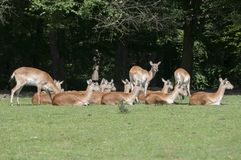 Indian blackbuck Antilope cervicapra. In zoo Czech during summer. African animal Stock Photo