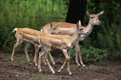 Indian blackbuck (Antilope cervicapra). Royalty Free Stock Photo