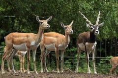Indian blackbuck (Antilope cervicapra). Royalty Free Stock Photos