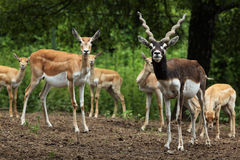 Indian blackbuck (Antilope cervicapra). Stock Images
