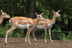 Indian blackbuck (Antilope cervicapra). Royalty Free Stock Photography