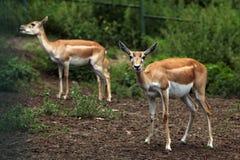 Indian blackbuck (Antilope cervicapra). Stock Photos