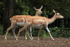 Indian blackbuck (Antilope cervicapra). Stock Photography